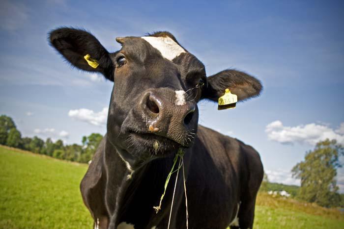 Krowa mleczna 2020